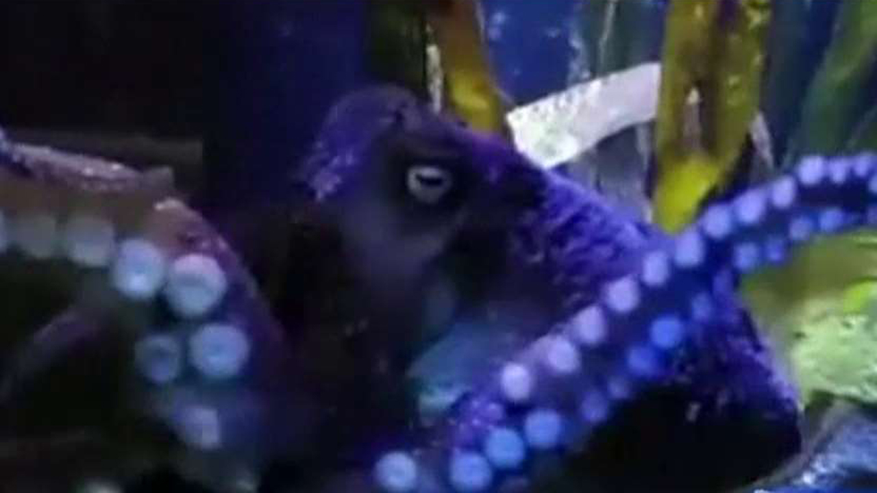 Octopus escapes from aquarium, makes it to ocean
