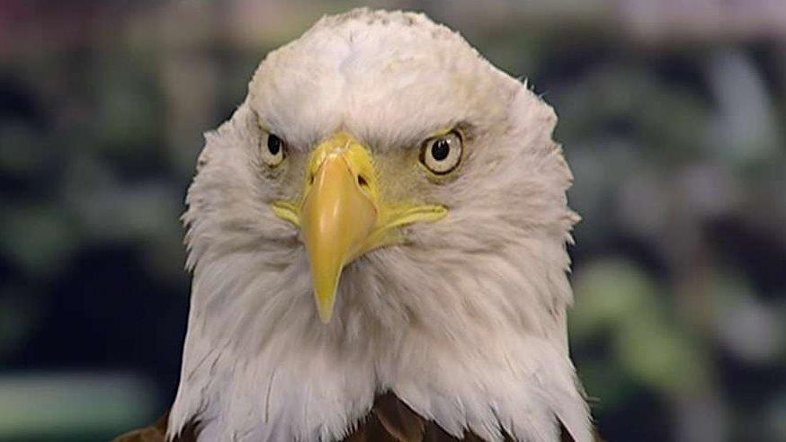 The Bald And The Bold Eagles Resurgence Comes At A Price Fox News
