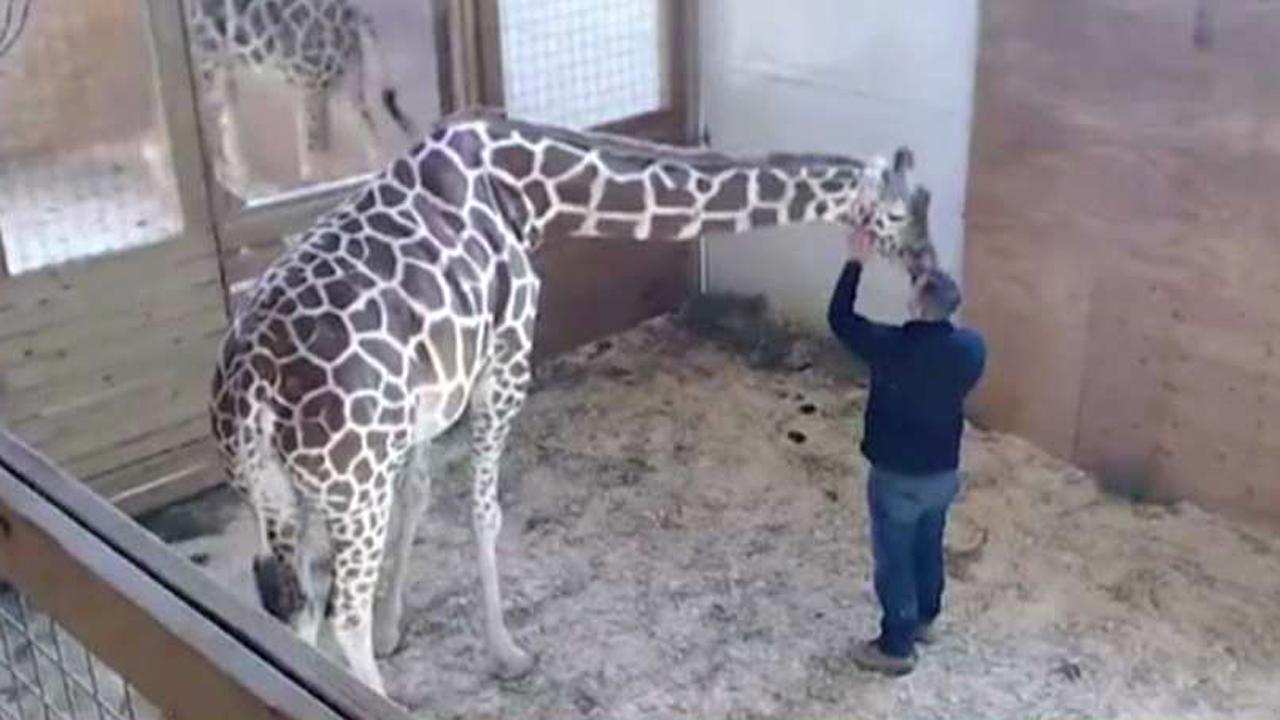 World waits, watches for April the giraffe to give birth