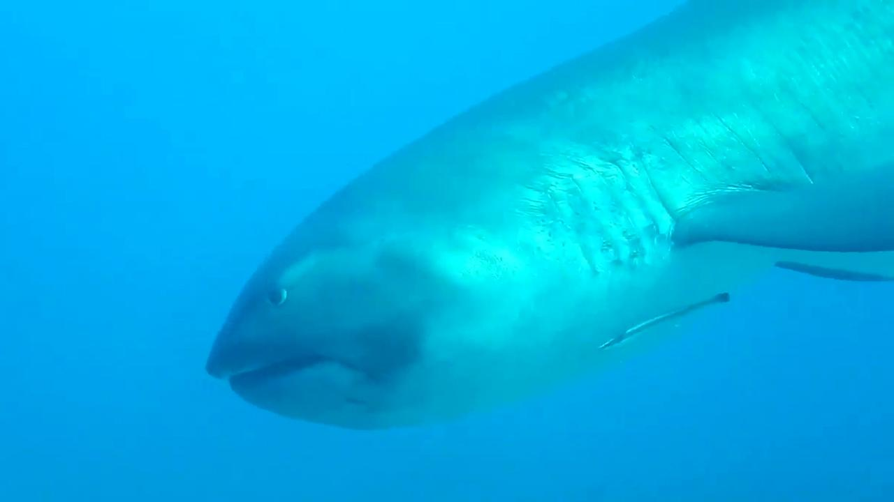 Rare megamouth shark spotted off Indonesia's Komodo Island