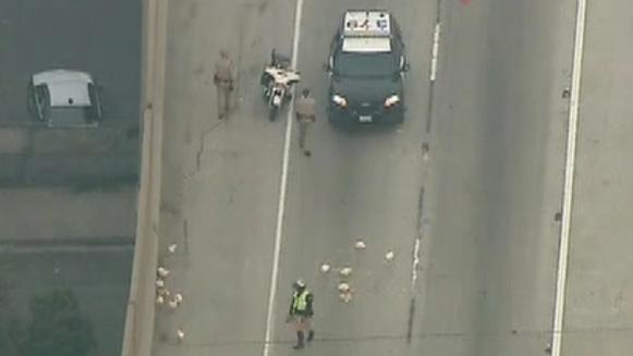 Chickens fowl up commute on California freeway