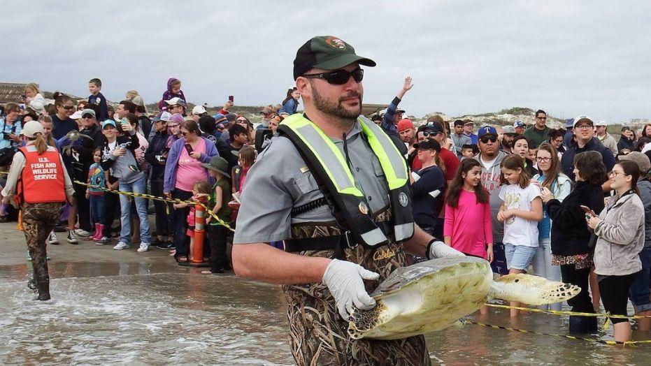Rescued sea turtles released back into Gulf of Mexico