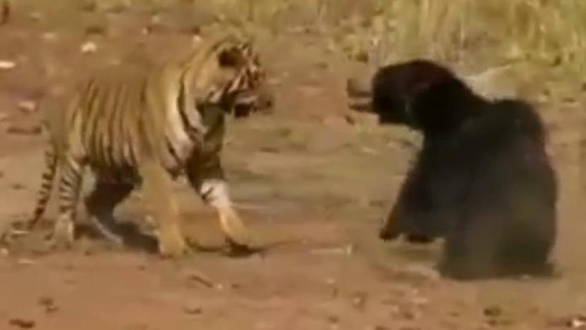 WILD video: Bear and tiger caught in violent fight
