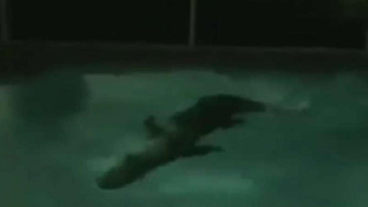 Alligator takes a midnight swim in Florida pool