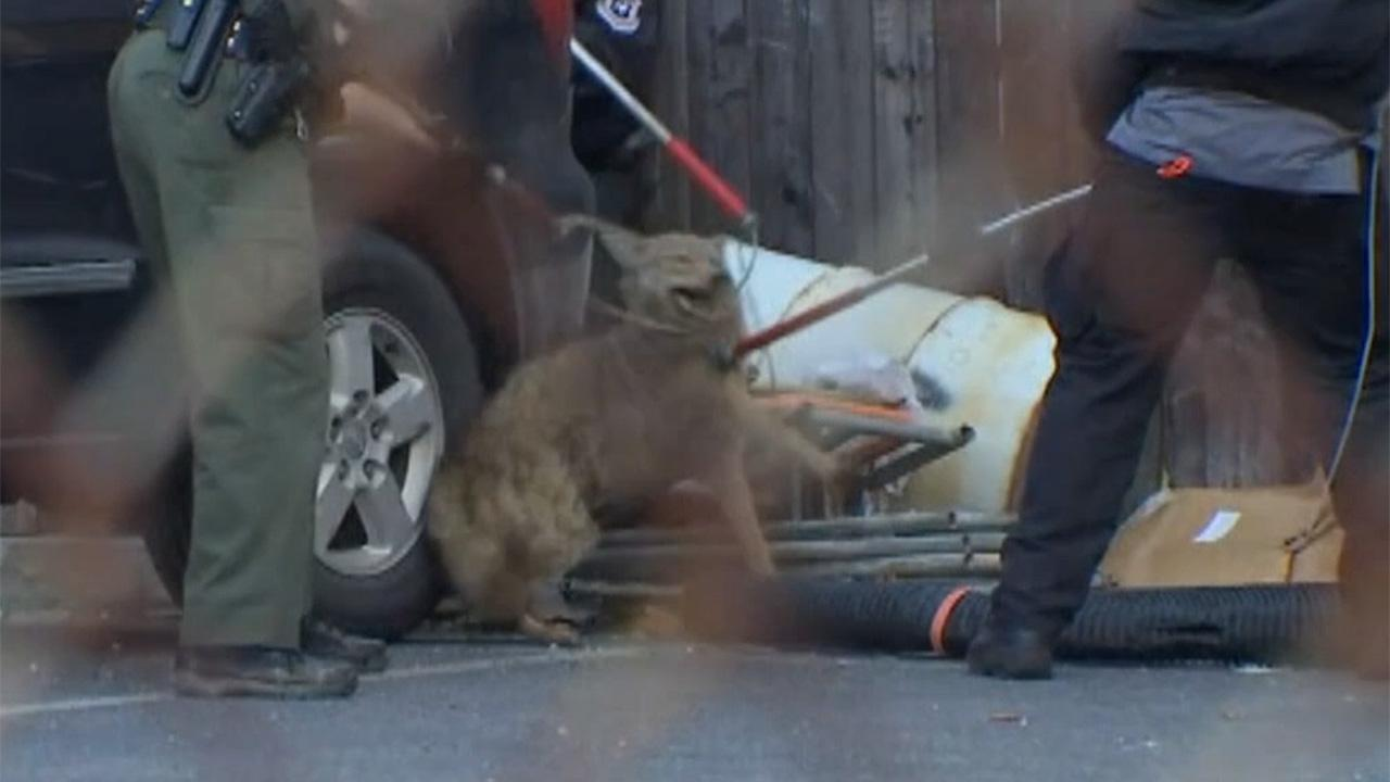 Philadelphia cops capture coyote after two hour pursuit