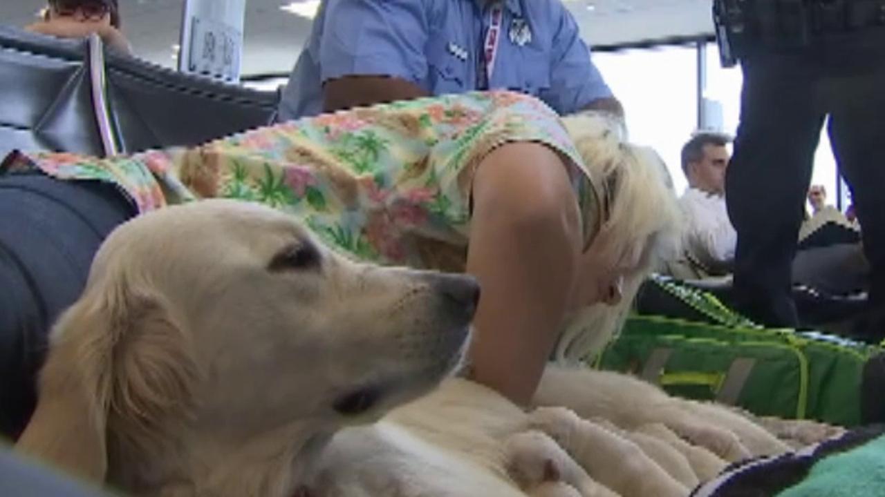 Service dog gives birth to puppies at Florida airport