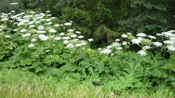Invasive plant that causes 3rd-degree burns, permanent blindness discovered in Virginia