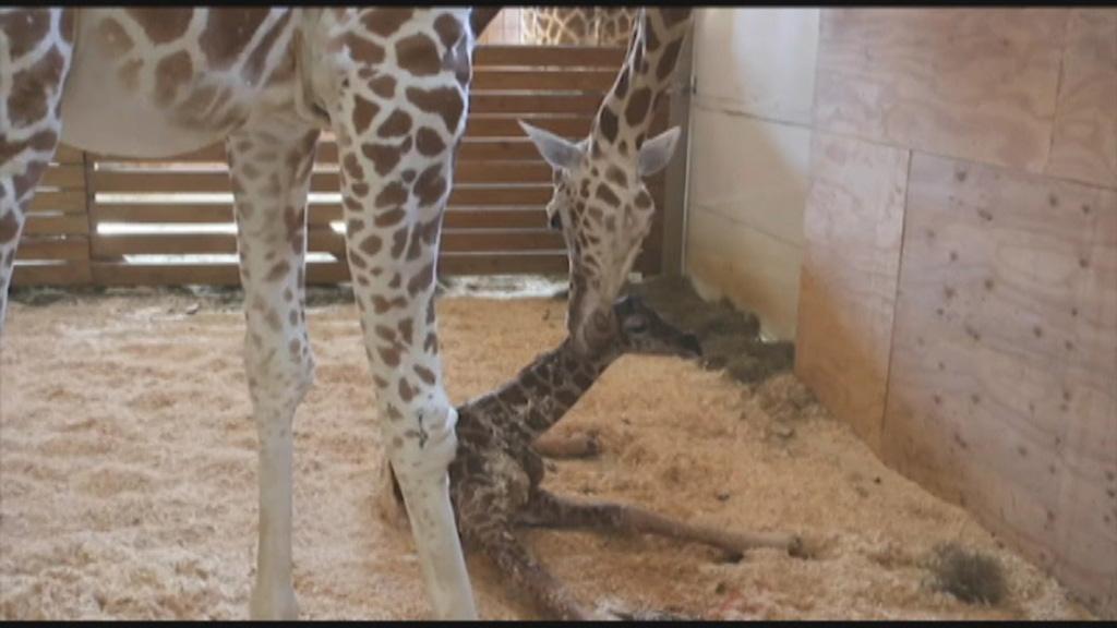 April the Giraffe is pregnant again