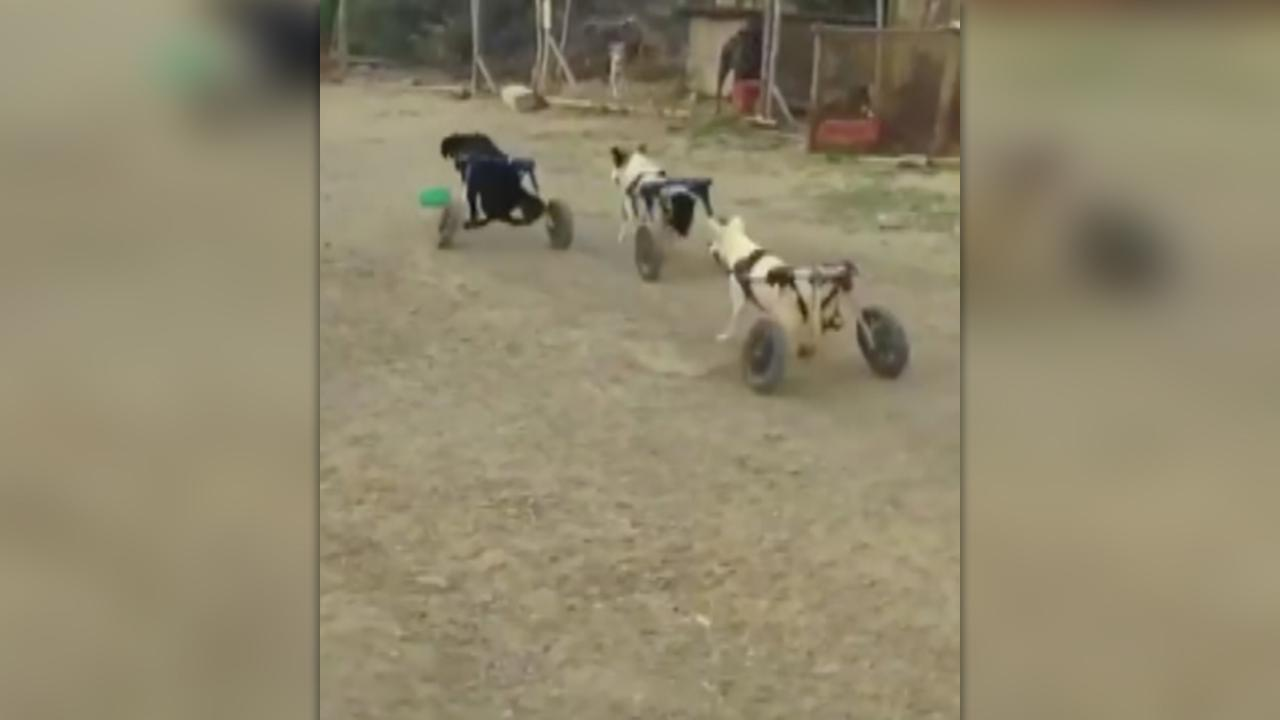 'Wheelie dogs' enjoy a game of tag at Moroccan animal sanctuary