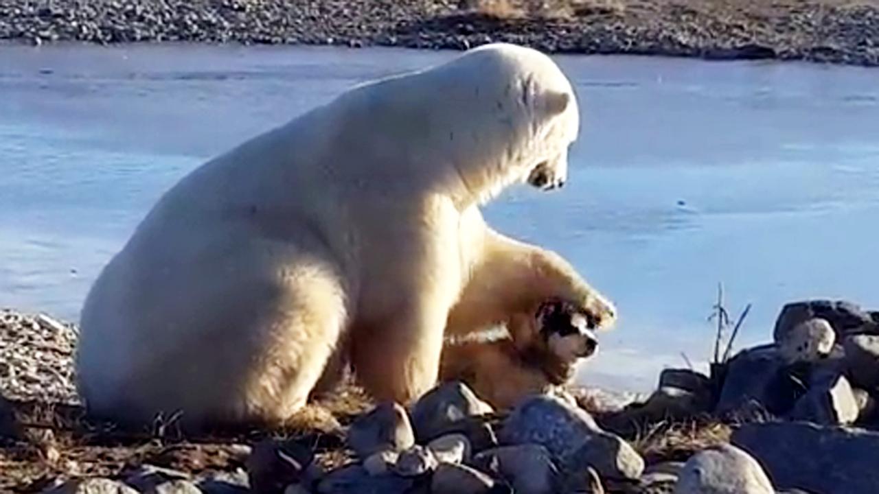 Polar Bear Pets Dog Fox News Video