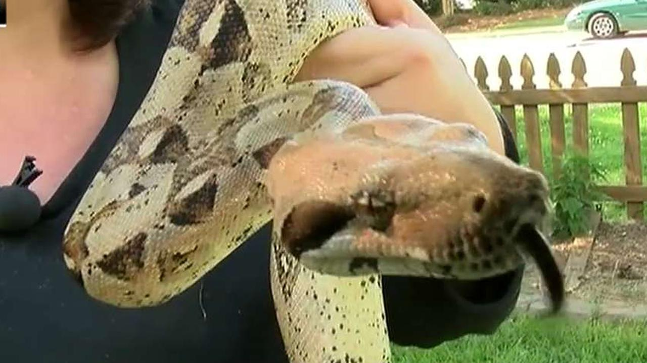 Boa constrictor attacks woman who rescued it