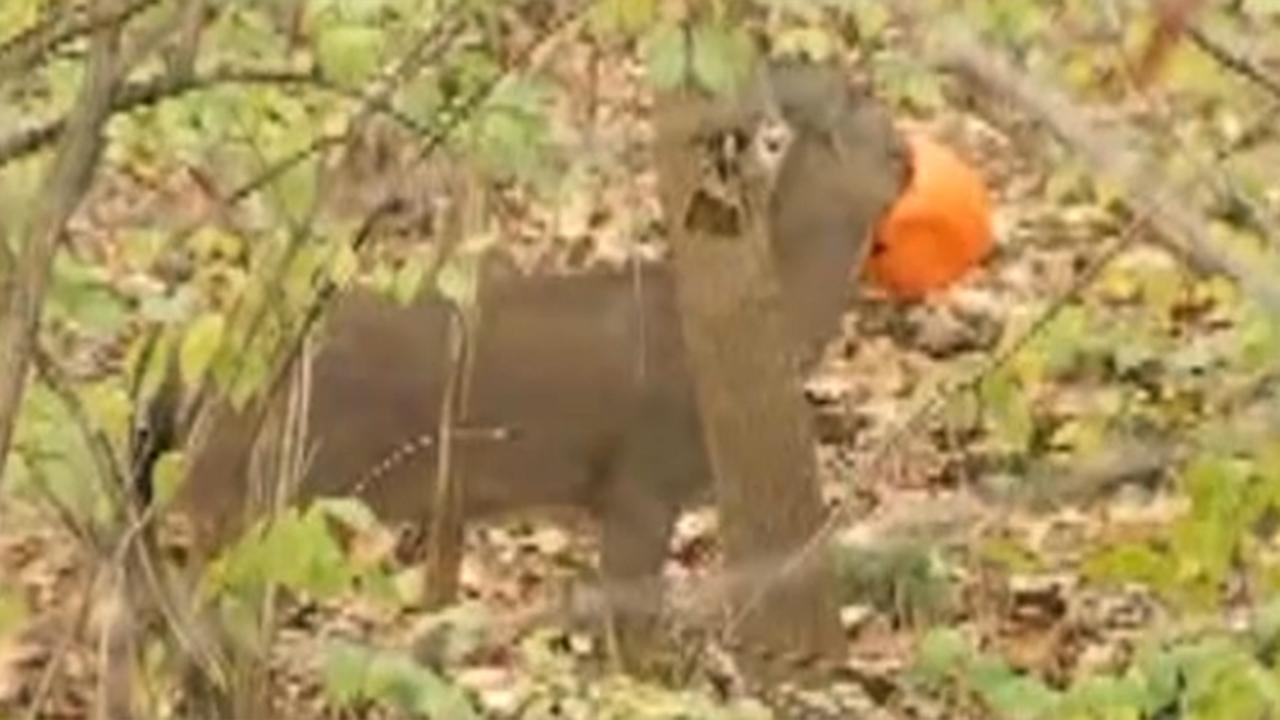 Ohio man spots deer with head stuck in plastic pumpkin