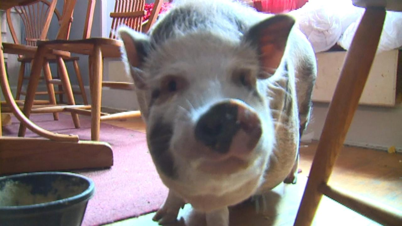Pet pig protects family's home from intruders