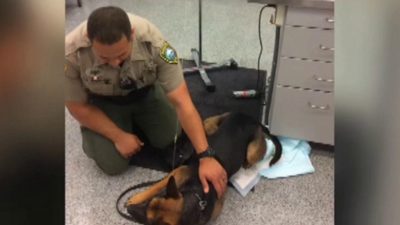 Deputy uses Narcan to save K9 dog exposed to heroin