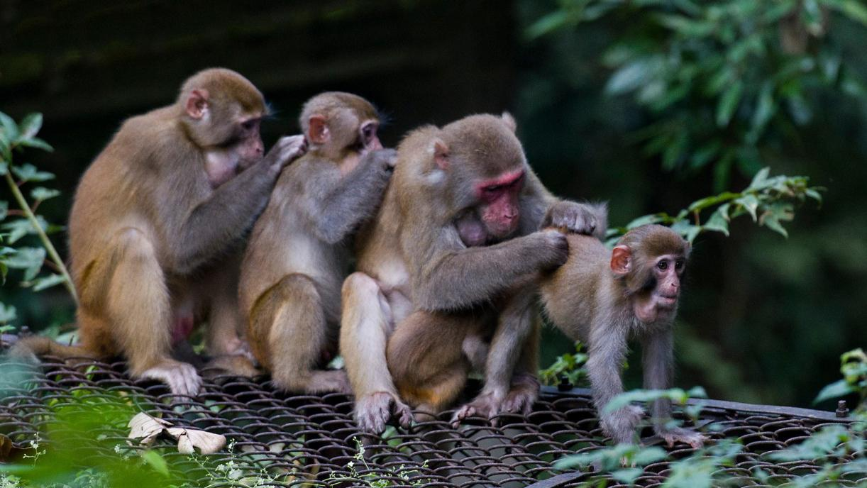 Monkeys in Florida carrying herpes virus worries experts
