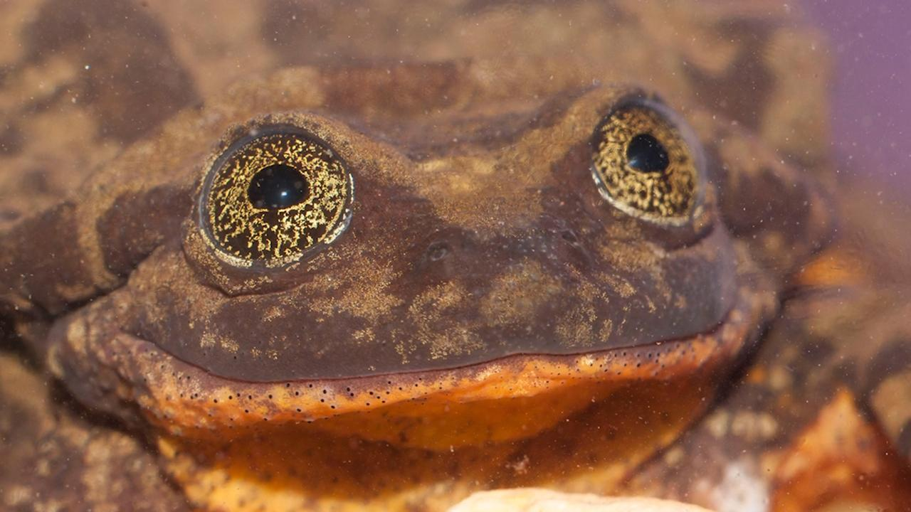 Dating profile video created for 'world's loneliest frog'