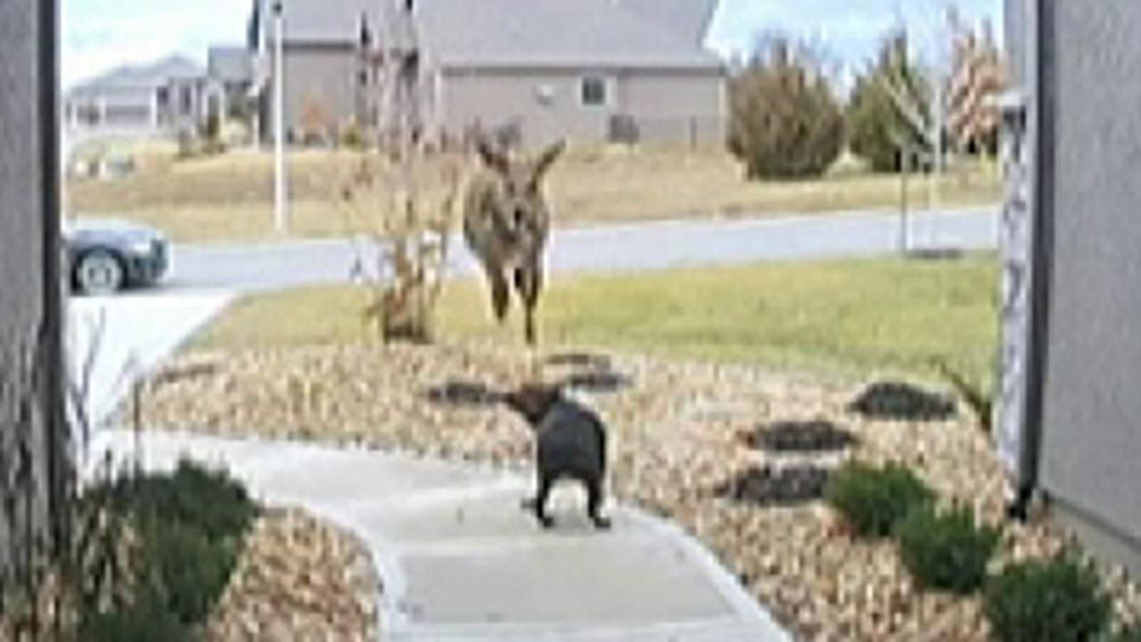 Doorbell camera catches a deer jumping over a family's dog