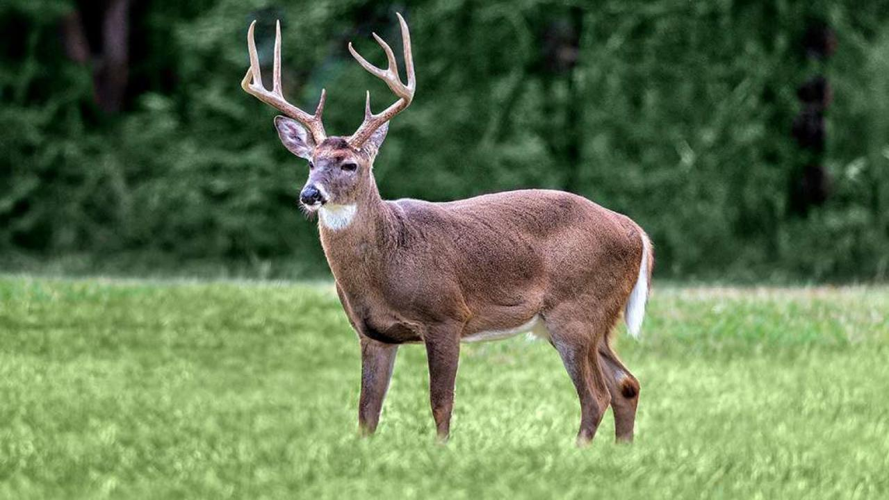 Deadly 'zombie' deer disease could spread to humans