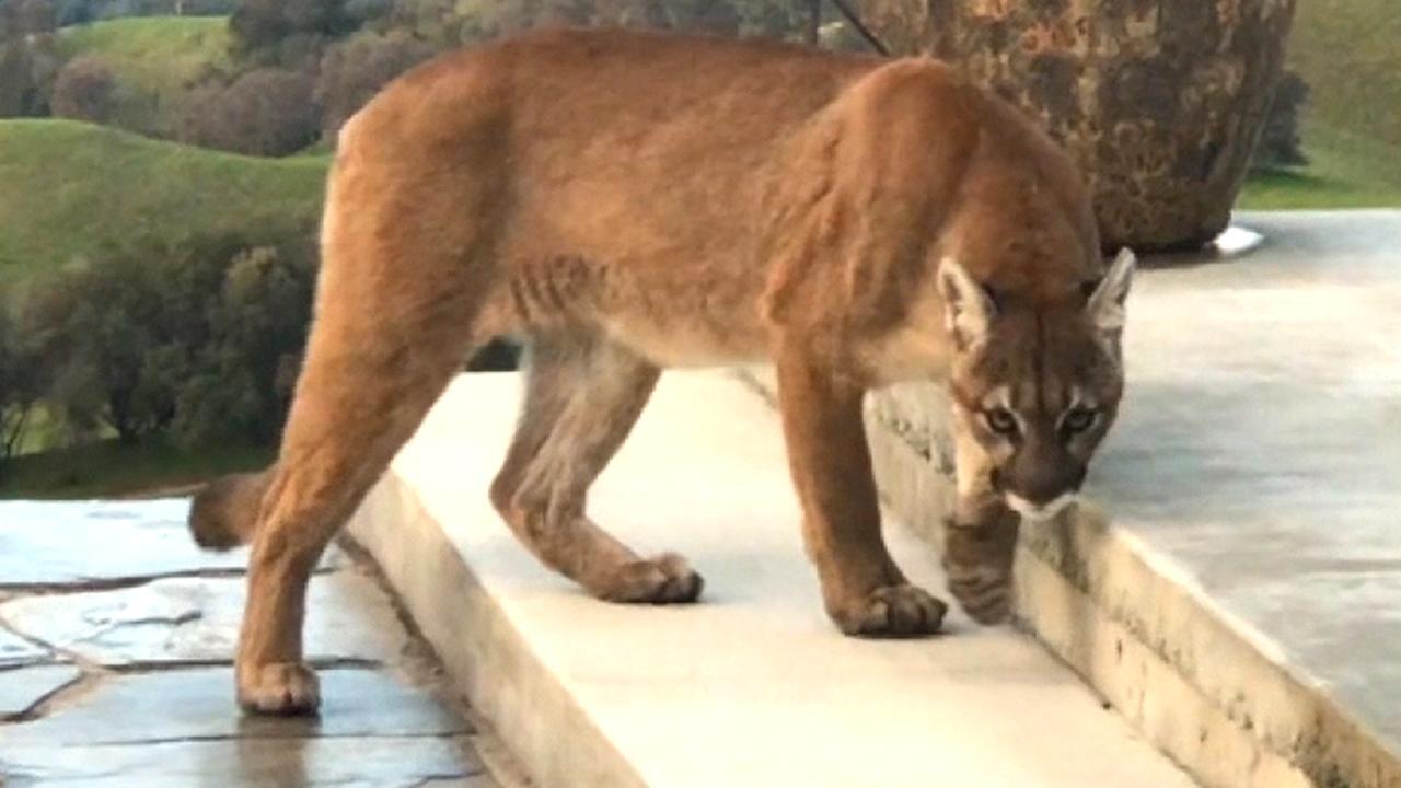 Mountain lion prowling...