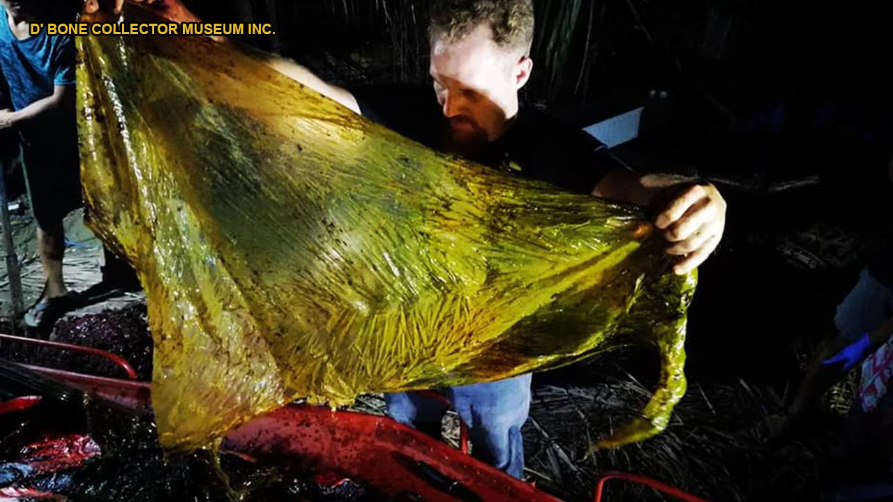 GRAPHIC IMAGES: Disgusting' 88-lb mass of plastic bags found in dead whale's stomach
