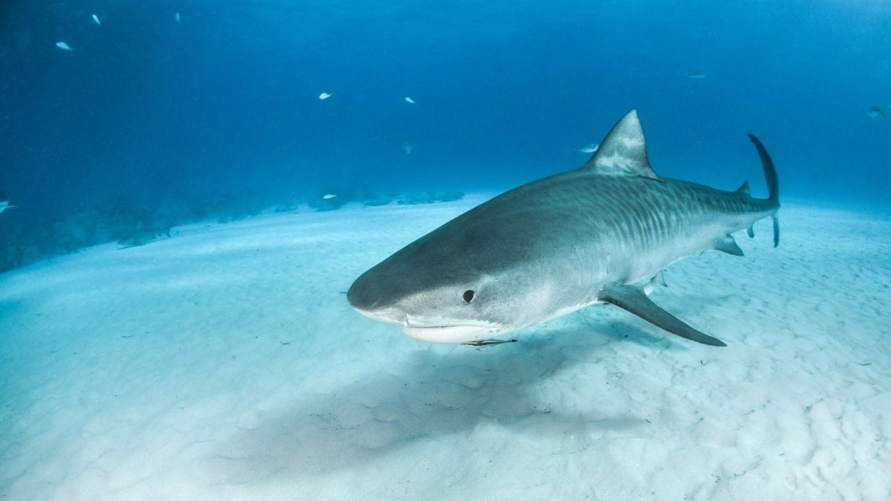 tiger shark attack hawaii 2020