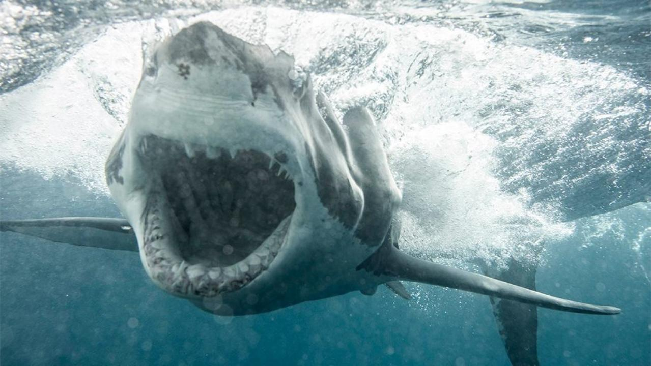 Great White Shark Weighing 2 137 Pounds Heading Toward Outer Banks Researchers Say Fox News