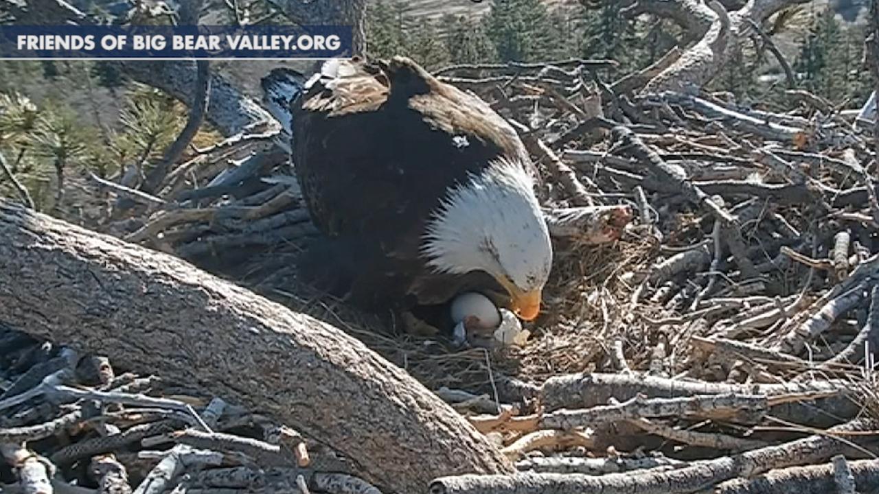 Westlake Legal Group 694940094001_6026821787001_6026817257001-vs Bald eagle chicks hatch on live webcam James Rogers fox-news/science/wild-nature/birds fox news fnc/science fnc e769491f-a51b-5ed9-8ee9-3239ba20905d article