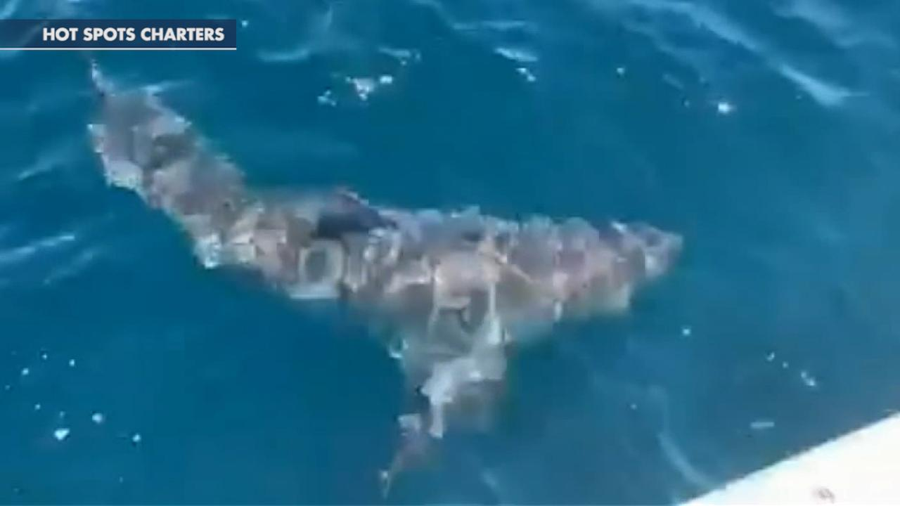 Westlake Legal Group 694940094001_6032632819001_6032630499001-vs Great white shark 'run in' with Florida charter boat caught on 'crazy' video Jennifer Earl fox-news/science/wild-nature/sharks fox news fnc/science fnc article 39e49c4f-6320-54c9-b9e7-244308e9727b