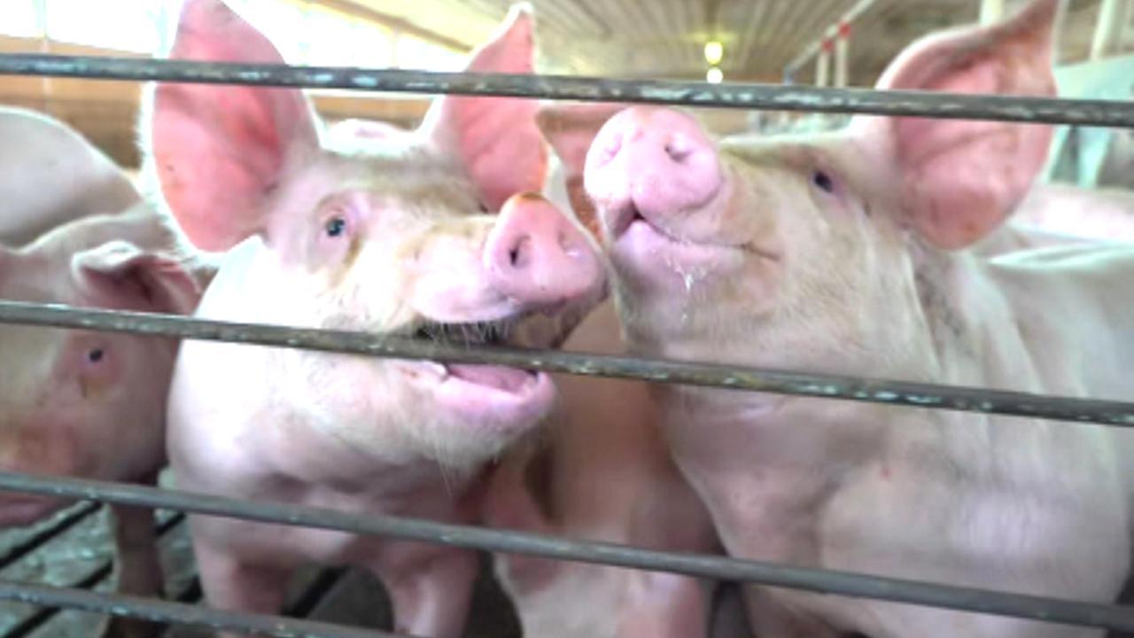 New tariff hike puts pressure on US hog farmers