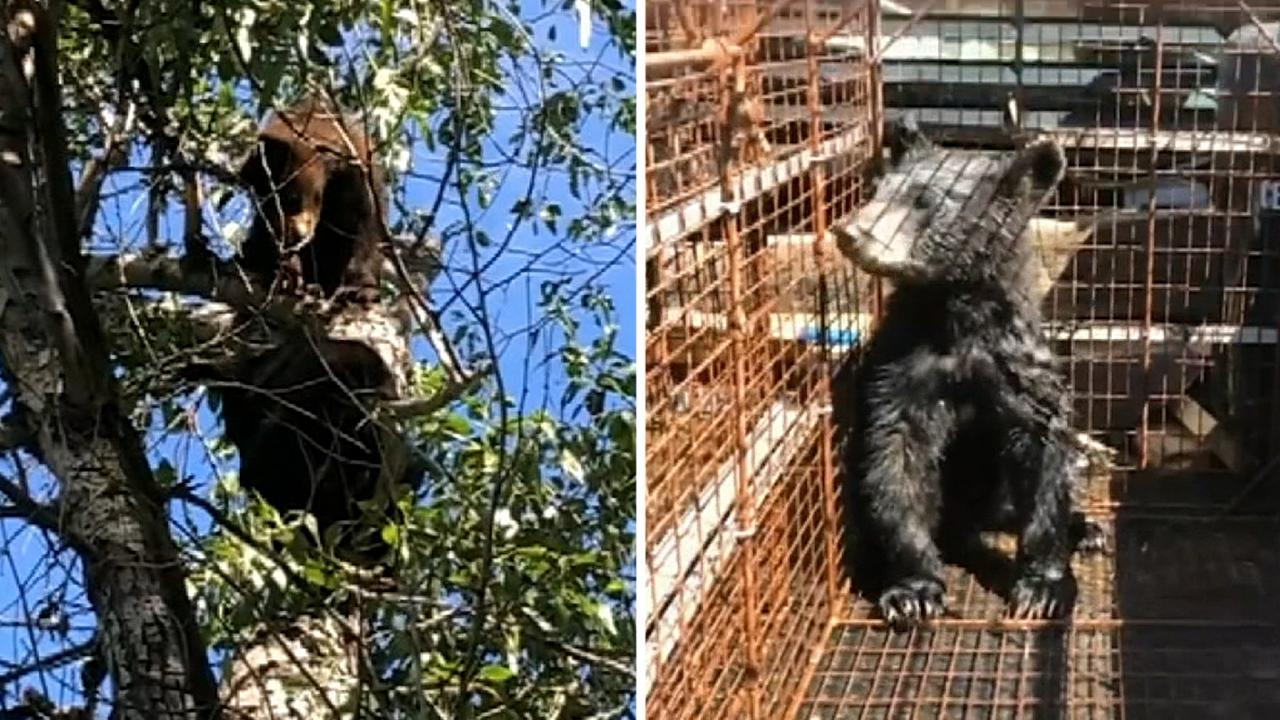 Westlake Legal Group 694940094001_6054302858001_6054293179001-vs Colorado resident kills mama bear trying to enter home; 2 orphaned cubs rescued, 1 missing: officials Stephen Sorace fox-news/us/us-regions/west/colorado fox-news/us fox-news/science/wild-nature/mammals fox news fnc/us fnc article 15157d2a-b4e8-5ee5-8d22-a07131e9758c