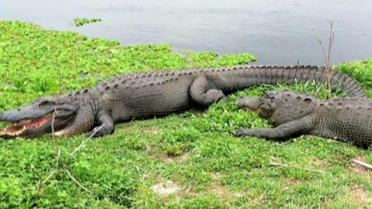 Alligators found feeding on human remains for second time in Florida