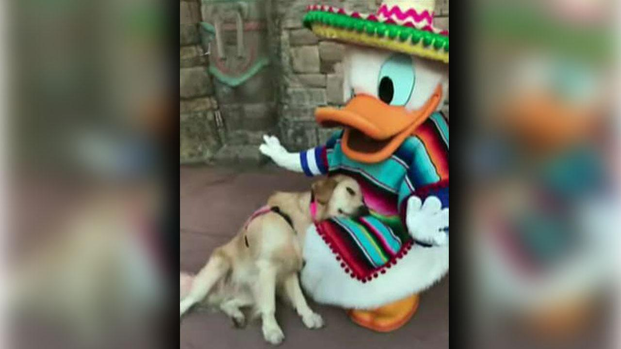 Donald Duck cuddles with service dog at Disney World in adorable video: 'She can stay here the rest of the day'