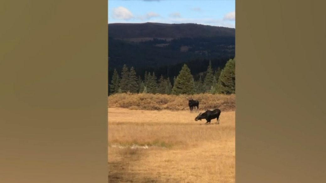 Westlake Legal Group 694940094001_6092863591001_6092858909001-vs Colorado woman charged by 2 moose during hike, escapes unharmed Travis Fedschun fox-news/us/us-regions/west/colorado fox-news/science/wild-nature/mammals fox news fnc/us fnc article 5554713d-2ca7-5bc4-9e1c-eeeef3f7c779