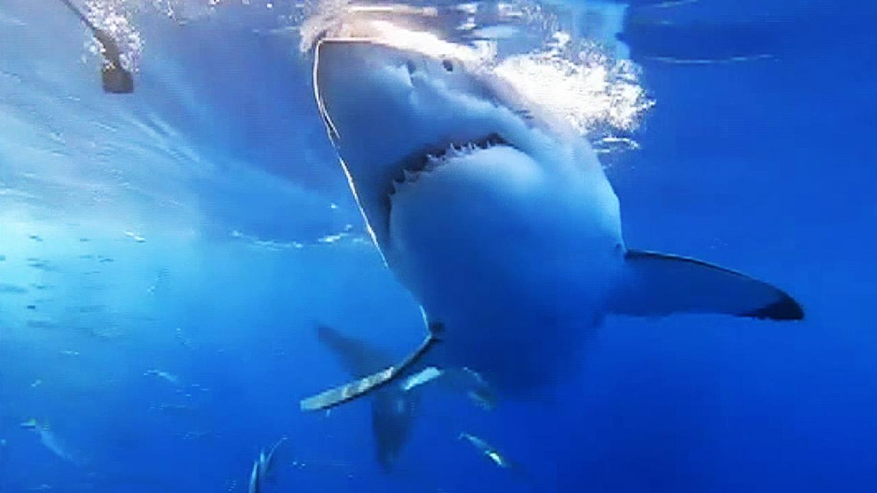 Huge great white shark bites and shakes a cage filled with divers