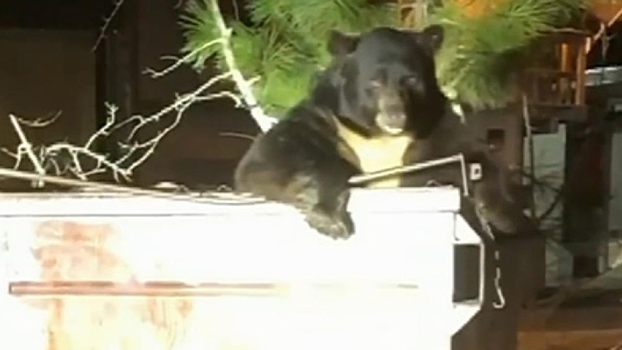 California deputies help free huge bear named 'T-shirt' stuck in dumpster, video shows