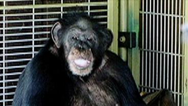 Is It Legal: Chimp Mauling