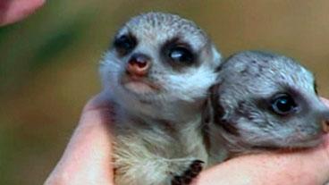 Meerkat Twins