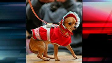 Woman vs. Chihuahuas