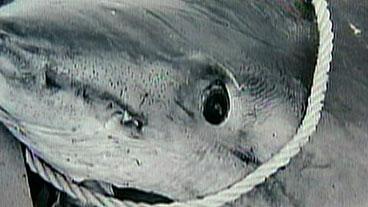 Man Catches 1000 Pound Shark!