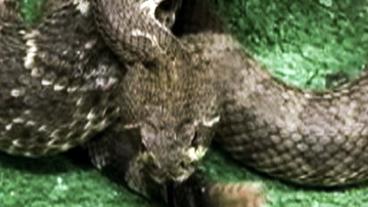 Rattlesnakes Everywhere!