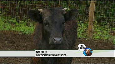 Beef: It's Not for Dinner