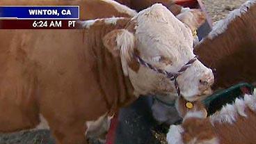 Mini Cows, Maxi Meat