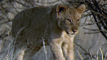 Lions Gone Wild