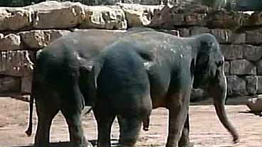 Elephant Addiction