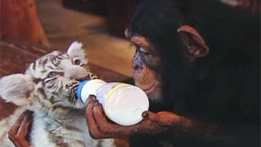 Chimp Loves Tigers