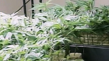 Should Marijuana Be Legal?